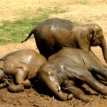 lazy_elephants